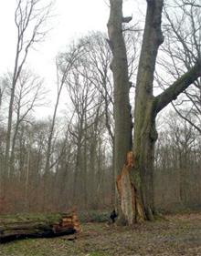 Le roi de notre forêt se meurt