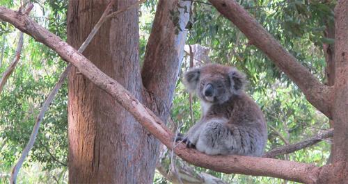 Ne racontons plus d'histoire aux koalas!